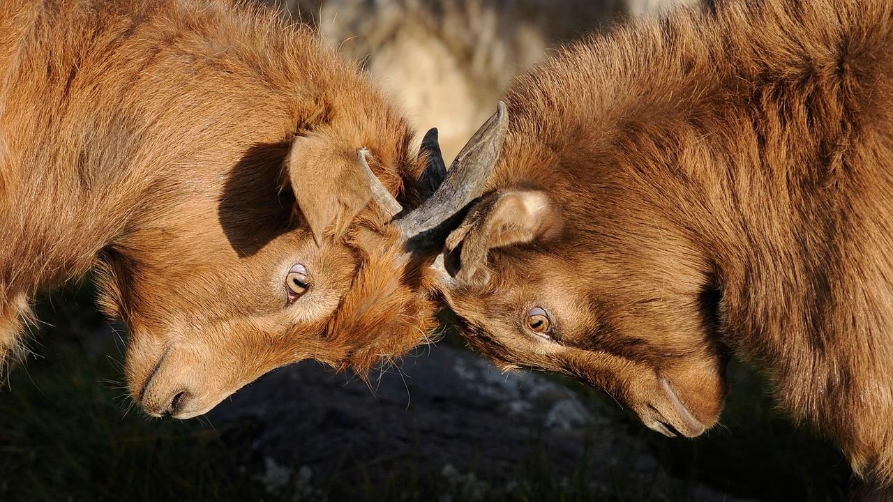 rams butting heads